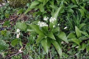 Ransoms Flowering